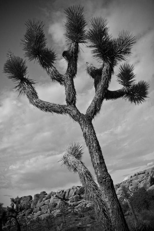 joshua_tree_10-2010-5
